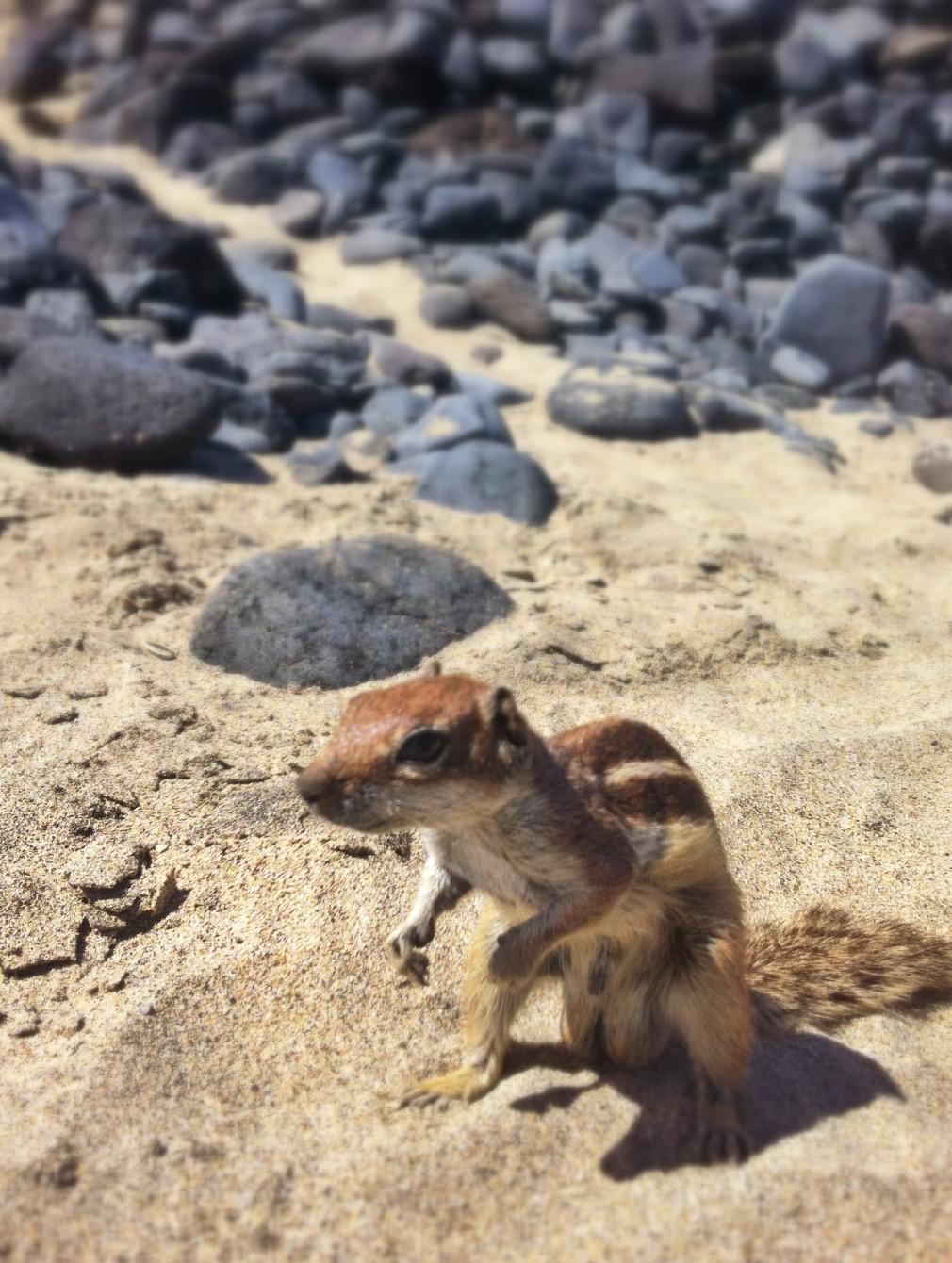 Fuerteventura - Streifenhörnchen