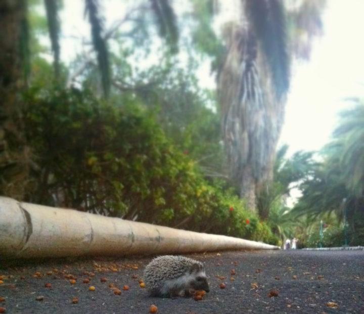 Afrikanischer Igel auf Fuerteventura
