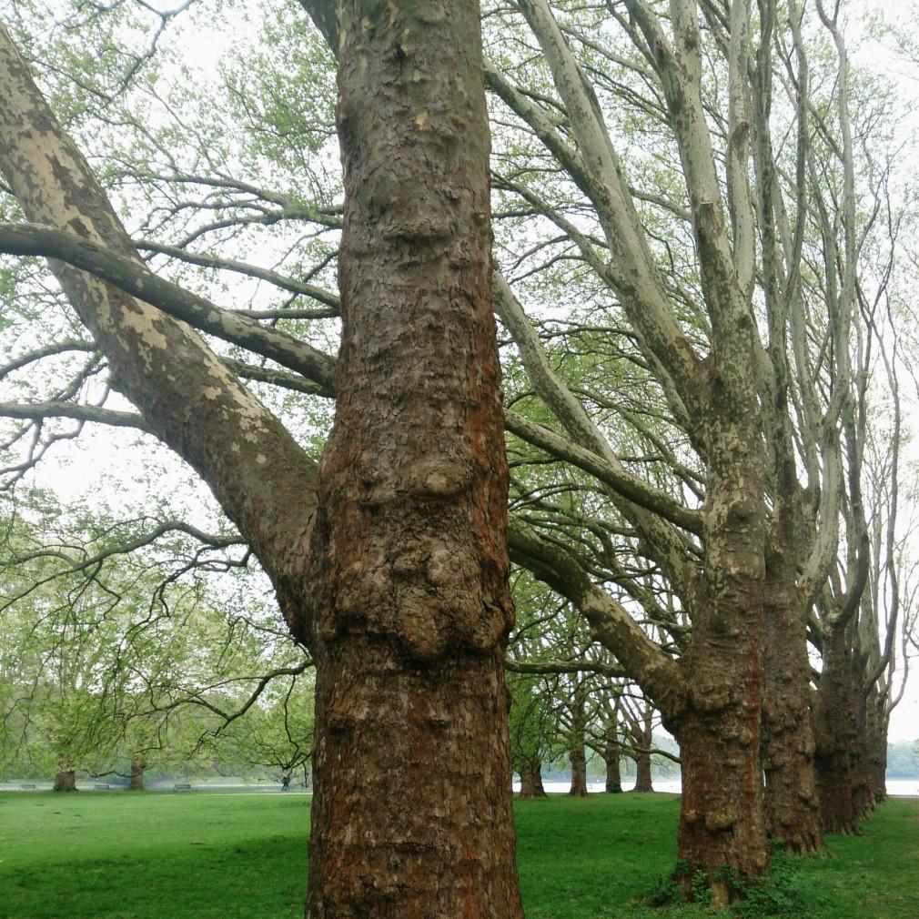 Baumreihen am Decksteiner Weiher
