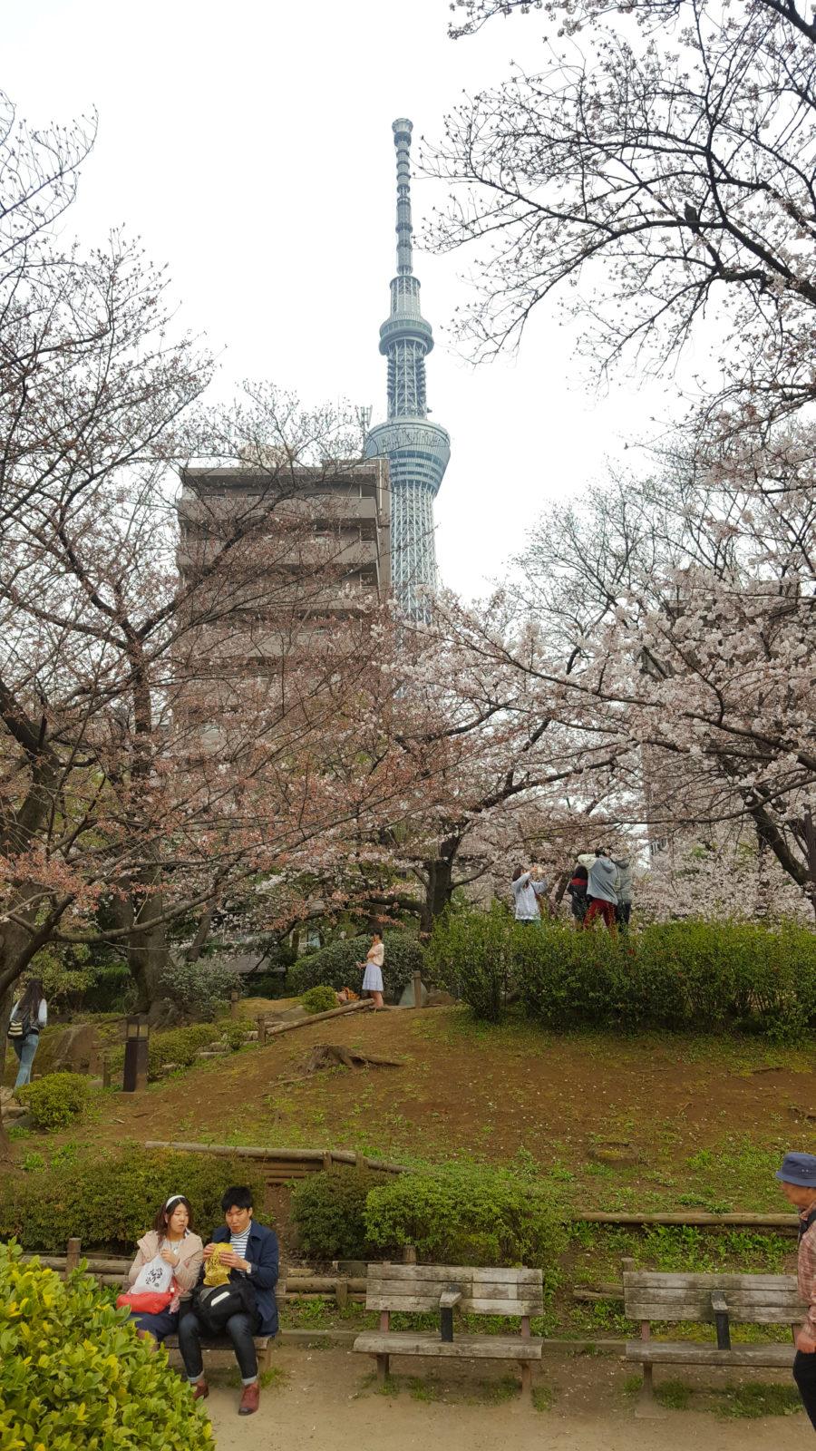 Kirschblüte im Sumeida Park mit Skytree