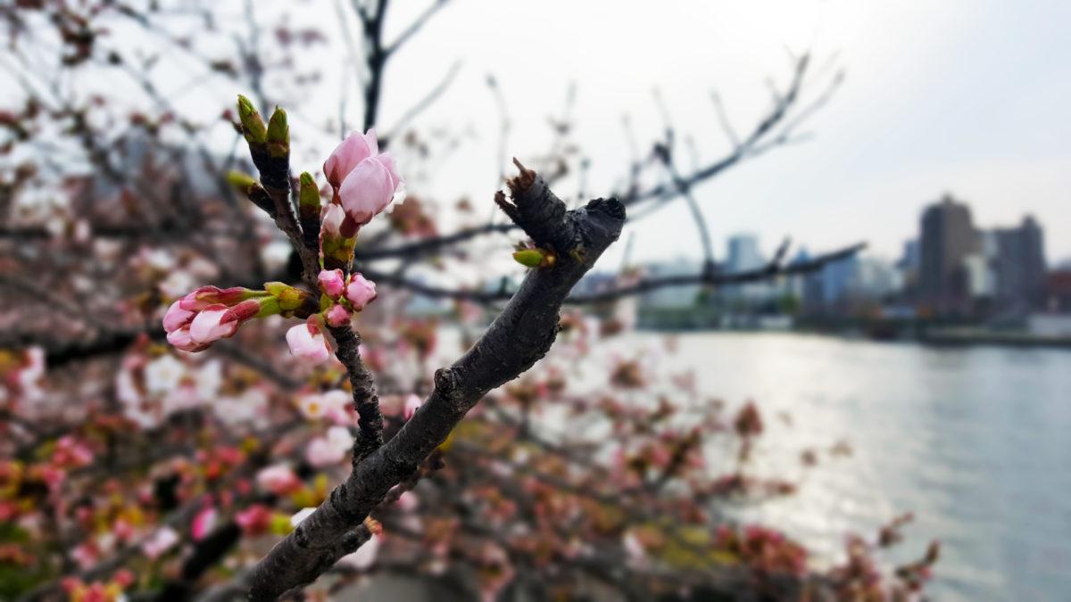 Kirschblüte Fokus